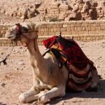 Camel - Petra, Jordan